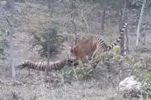 उदयपुर: नर टाइगर ने मादा टाइगर पर हमला कर उतारा मौत के घाट