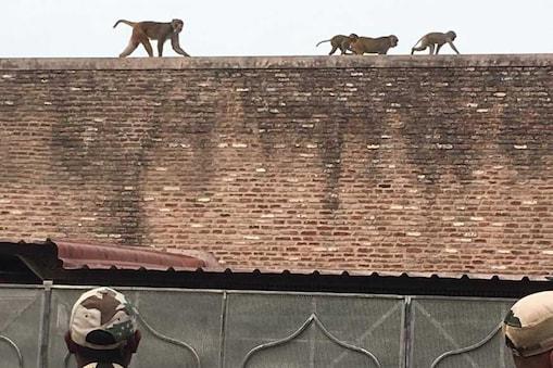 जिस गेट से ताजमहल में प्रवेश करेंगे अमेरिकी प्रेसिडेंट डोनाल्ड ट्रम्प वहां बंदरों का कब्ज़ा है.