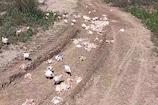 कोरोना की दहशत:पोल्ट्री फार्म संचालकों ने खुले में फेंके हजारों मुर्गे, फिर...