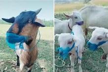 कोरोना वायरस के डर से बकरों ने पहना मास्क! खूब वायरल हो रहा है ये TikTok Video