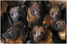 Coronavirus: यमुनानगर में दिखे सैकड़ों चमगादड़ों के झुंड, दहशत का माहौल