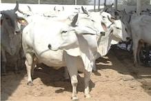 गाय के मुंह में सुअर बम फटा, पुलिस ने कहा-जांच करेंगे ये साज़िश है या दुर्घटना