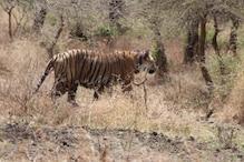 मुकुंदरा टाइगर रिजर्व: बाघ पुनर्वास के 2 साल हुए पूरे, कुनबा बढ़ने का इंतजार