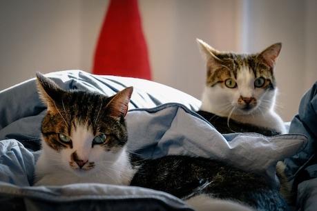 कोरोना का जानवरों पर हमला! न्यूयॉर्क में अब 2 बिल्लियां मिली संक्रमित