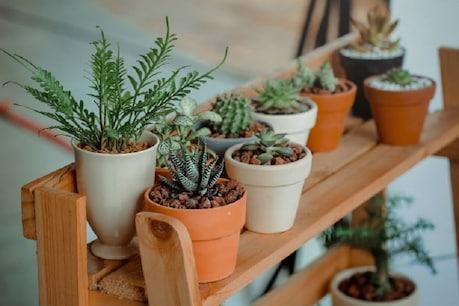 Gardening Tips: हवा को शुद्ध करने के लिए घर में लगाएं ये Indoor Plants