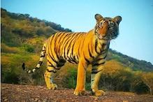 Lockdown: टाइगर के शिकार की फिराक में शिकारी गैंग, वन विभाग ने जारी किया अलर्ट