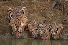 पीलीभीत में बढ़ रहा है बाघों का कुनबा, 15 साल में 20 से बढ़कर 65 हुए टाइगर