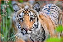 जिम कॉर्बेट टाइगर रिजर्व से आई खुशखबरी, बाघों की संख्या बढ़ने के मिले संकेत