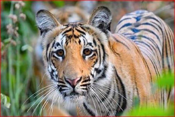 कॉर्बेट टाइगर रिजर्व में फिर बढ़ सकती है बाघों की संख्या (फाइल फोटो)