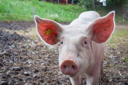 असम और अरुणाचल प्रदेश में खतरनाक अफ्रीकी स्वाइन फीवर (African Swine Fever) के मामले सामने आए हैं. अब तक इस फीवर से देश में हजारों सुअरों की मौत हो चुकी है. वैश्विक स्तर पर ये आंकड़ा लाखों में है.