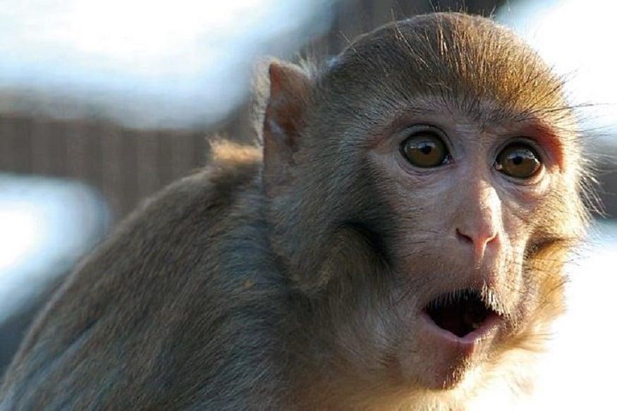 ऑक्सफोर्ड यूनिवर्सिटी ने बंदरों पर कोरोना वैक्सीन का ट्रायल किया