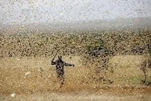 टिड्डी दल का खतरा, किसान लगा रहे कृषि विभाग कार्यालय के चक्कर