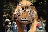 पांच साल से सलाखों के पीछे जी रहा यह बाघ, वजह जानकर रह जाएंगे दंग