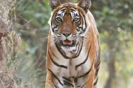 राजस्थान में बाघों को बचाने के लिए भी विशेष कवायद का दावा किया जा रहा है. सांकेतिक फोटो.