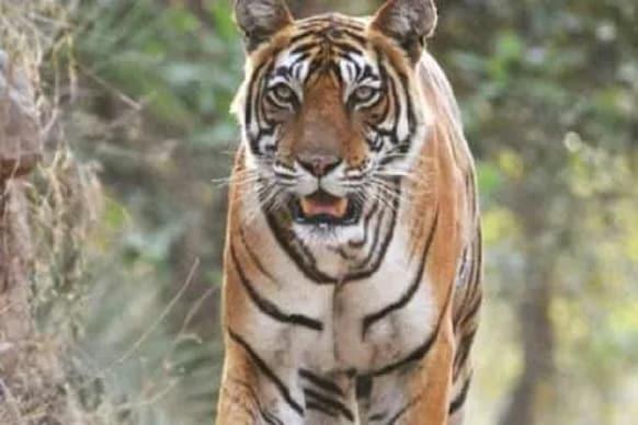 पीलीभीत: ग्रामीणों और वन विभाग की टीम पर हमला करने वाले बाघ की मौत