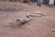 Video: कोबरा ने निगल ली थी प्लास्टिक की बोतल, बीच सड़क की उल्टी, लोग बोले OMG!