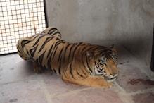 7 दिनों के लिए क्वारंटाइन हुआ महाराष्ट्र से भोपाल वन विहार पहुंचा बाघ