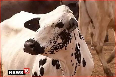 अमेरिकी कंपनी ने खोजा corona का इलाज, गाय की इस चीज से बनेगी दवा...