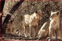 विशेषज्ञ बोले- शेर की हड्डियों से चीन बनाता है दवा-दारू, एक और महामारी का खतरा