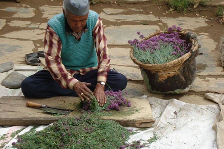 medicinal plants hrdi 2, आजकल सरकार ने कृषि क्षेत्र और विशेषकर मेडिसिनल प्लांट्स को बढ़ावा देने के लिए बहुत अच्छा बजट दे रखा है.