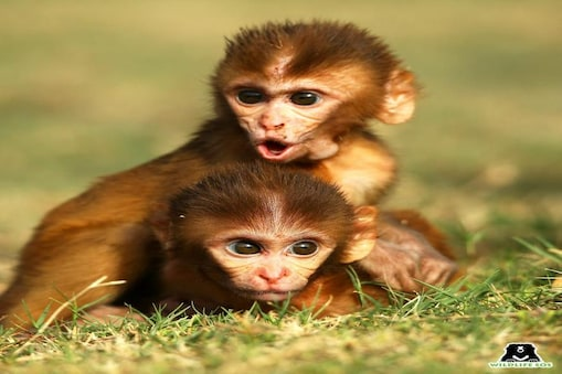 मां की मौत के बाद अपने हम उम्र दोस्त के साथ खेलता बंदर का बच्चा.