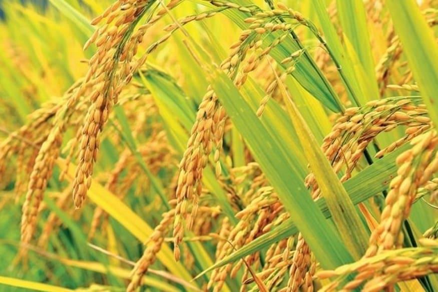 बासमती चावल का जीआई टैग, मध्य प्रदेश सरकार, सर्वोच्च न्यायालय, बासमती चावल विवाद, भारत से बासमती चावल का निर्यात, बासमती उत्पादक राज्य, शिवराज सिंह चौहान, नरेंद्र सिंह तोमर, basmati rice gi tag, madhya pradesh, supreme court, basmati rice controversy, basmati rice Export from india, basmati producer states, shivraj singh chauhan, narendra singh tomar