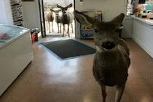 हिरण भोजन की तलाश में स्टोर में घुस आया, चिप्स देने पर परिवार को भी ले आया