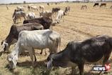 20 दिन में 1 लाख लोगों को मिलेंगा पशु किसान क्रेडिट कार्ड, ऐसे उठाएं फायदा