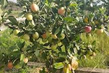 आम के बाग में उगाइये सेब,गर्म इलाकों में भी घर की नर्सरी में लगा सकते हैं पौधा