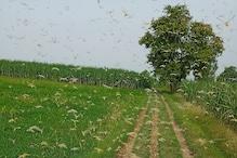 चरखी दादरी के कई गांवों में टिड्डी दल का हमला, तीसरी बार बनाया फसलों को निशाना