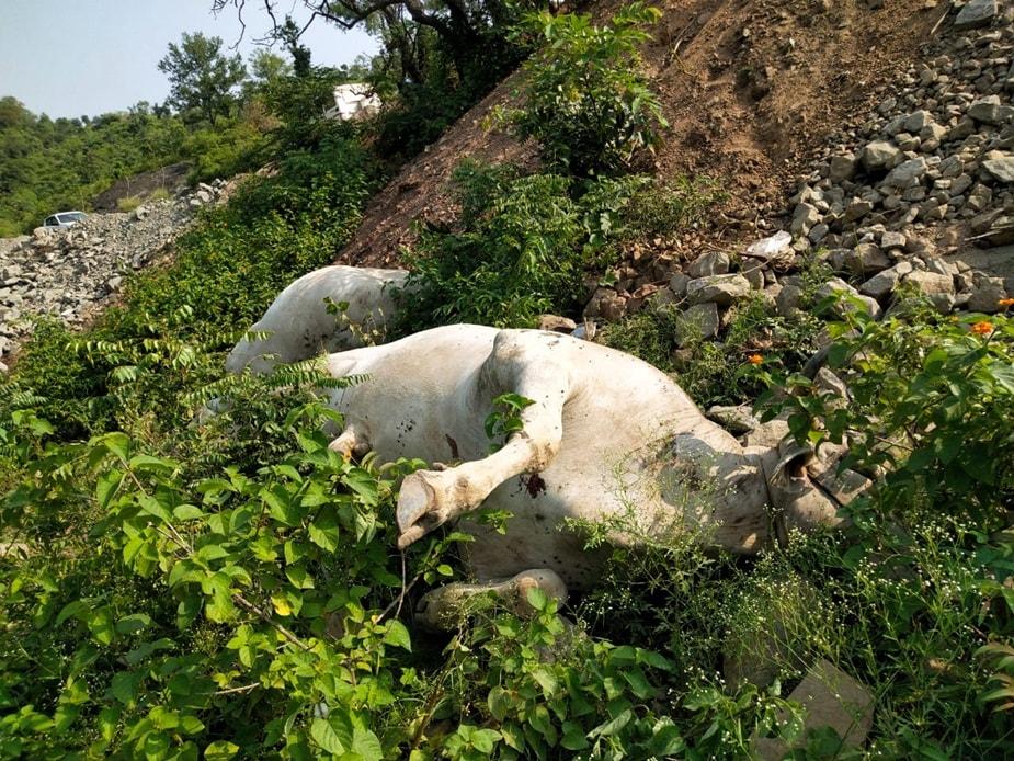 ऊना. पहले इंसानियत मरी और फिर जानवर. यह कथन हिमाचल के ऊना (Una) जिले में आए एक मामले पर सटीक बैठता है.