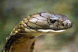 बर्फ़ीली जगहों पर क्या कर रहा है गर्म इलाकों का निवासी किंग कोबरा?