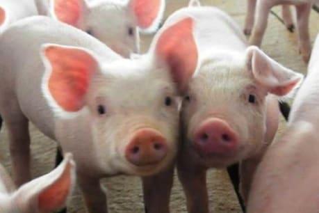 पोर्क खाने वाले सतर्क रहें, जर्मनी में फार्म वाले सूअर तक पहुंचा अफ्रीकन स्वाइन फीवर