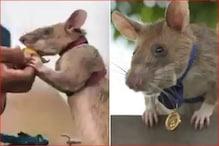 39 बारूदी सुरंगों का पता लगाने वाला बहादुर चूहा 'गोल्ड मेडल' से सम्मानित
