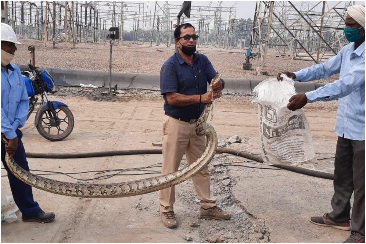 राष्ट्रीय राजधानी दिल्ली से सटे उत्तर प्रदेश के ग्रेटर नोएडा में नेशनल थर्मल पावर कॉरपोरेशन (NTPC) के प्लाट में भारी भरकम अजगर (Python) दिखाई देने से स्थानीय लोगों के होश उड़ गए. करीब 10 फीट लंबे अजगर को देखने के बाद आनन फानन में लोगों ने इसकी सूचना वन विभाग को दी.