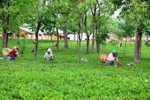 हिमाचल: कोरोना काल में देश-विदेश में बढ़ी Kangra Tea की मांग, जमकर हुई बिक्री