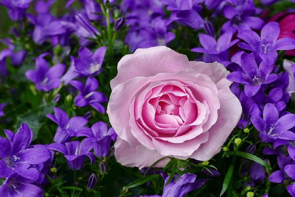 Roses, Flowers, Winter, season, weather change,