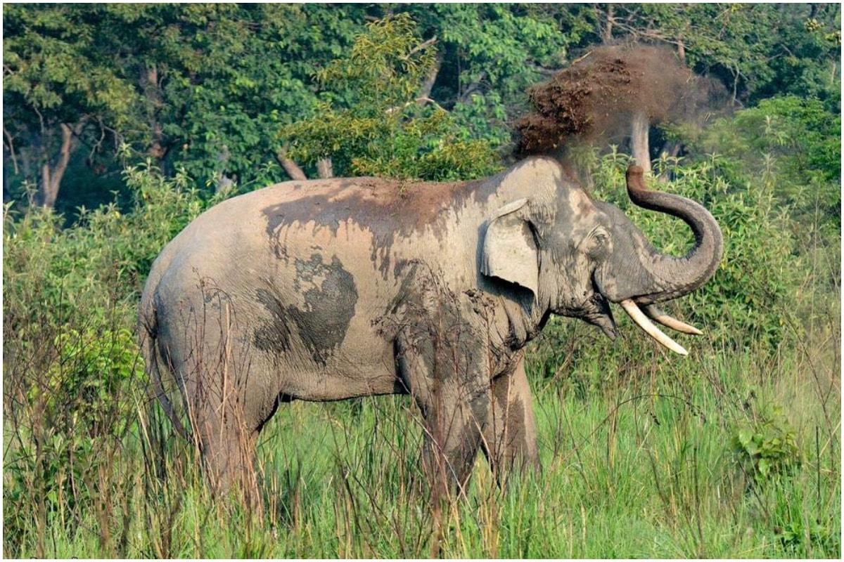 खुलासा: कॉर्बेट में बाघ तो राजाजी में हाथियों की संख्या हुई क्षमता से अधिक