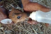 मां ने छोड़ा तो इंसान के हाथों बोतल से दूध पी रहा है हिरन का बच्चा