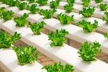 अपनी छत पर करें पालक, मेथी और टमाटर जैसी सब्जियों की खेती, हर महीने होगी कमाई