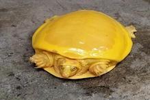ओडिशा के बाद बंगाल में मिला दुर्लभ प्रजाति का पीले रंग का कछुआ, सब हुए हैरान
