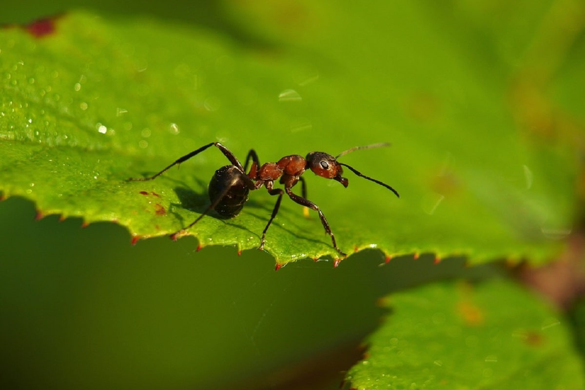 Ant, Armour, Leaf-cutter, bio minerals, unbeatable in battle