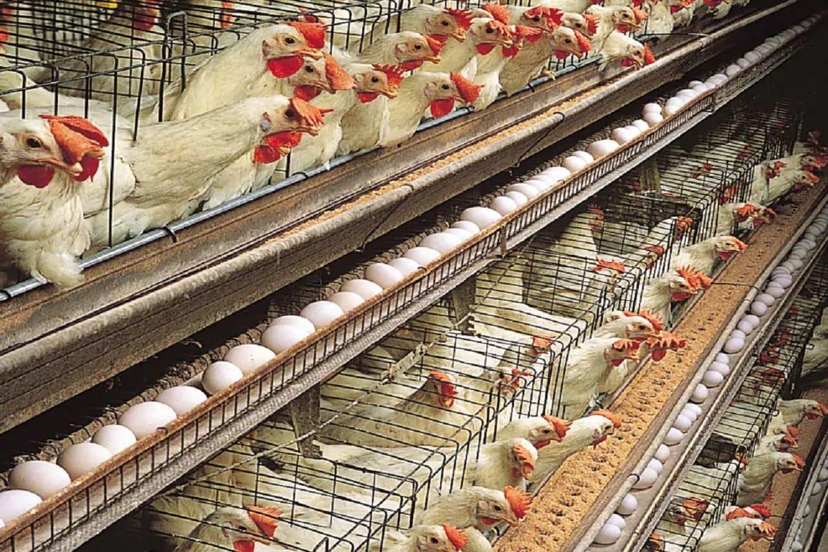 सर्दियों में सस्ता हुआ मुर्गा लेकिन लगातार महंगी होती जा रही है मुर्गी