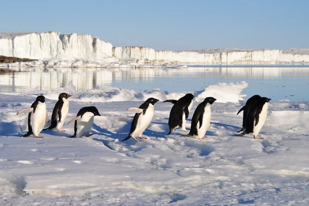, penguins, Gentoo penguins, Species, Populations,