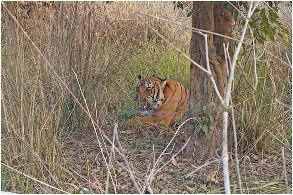 राजाजी नेशनल पार्क से लापता हुए बाघ की कैमरा ट्रैप में तस्वीर कैद हुई है जिसके बाद वन अधिकारियों ने राहत की सांस ली है