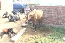 हरियाणा में बर्ड फ्लू के बाद अब घोड़ों में बीमारी की आशंका! लिए गए सैंपल