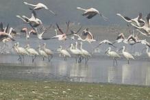 विदेशी पक्षी भी भारत आकर इस तरह होते हैं बर्ड फ्लू का शिकार!