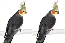 मंडी: पिंजरा खुलते ही फुर्रर हुआ 'कॉकटेल तोता', ढूंढने पर मिलेगा 20 हजार ईनाम