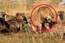 लकड़बग्घों ने किया शेर पर अटैक, तभी दोस्त की हुई एंट्री,देखें फिर आगे क्या हुआ