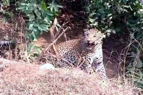 One woman was killed in two separate incidents of leopard attack in Pithoragarh district.  One person was injured due to leopard attack.  (Photographic picture).